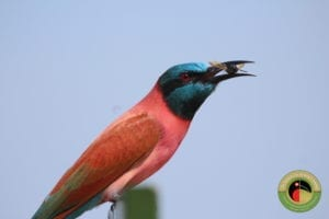 Northern Carmine Bee-eater, seen at Queen Elizabeth National Park on our Uganda Birding Tours