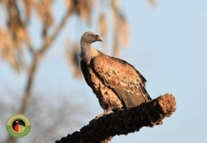 Ruppell's Vulture is a critically endangered species and can be found on our Uganda Birding Tours