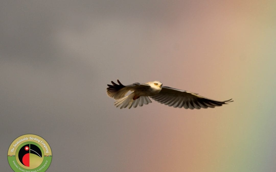 Black-shouldered Kite seen on our Kenya Bird Photography Tours