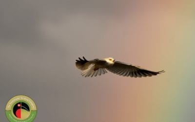 A stunning photo by our lead guide of a Black-shouldered Kite!