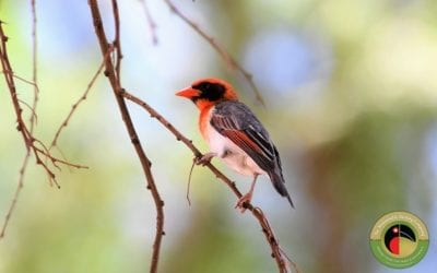 A Beautiful Red-headed Weaver seen on our 27 Day Kenya Birding Tour