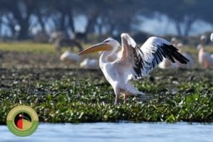 Great White Pelican can be easily seen on our Uganda and Kenya bird watching trips