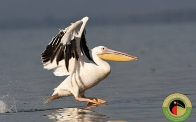 #FactFriday – Great White Pelican