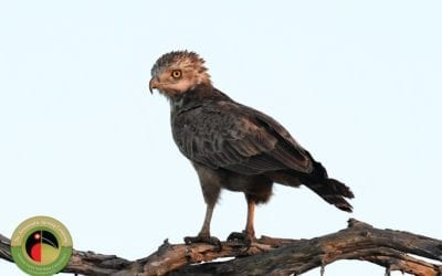 The beautiful amber-eyed Brown Snake-eagle