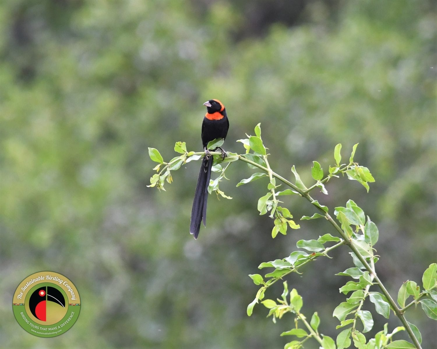 Red-collared Widowbird seen on our Kenya birding tours
