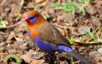 Beautiful Purple Grenadier seen on our Kenya & Uganda Birding Tours