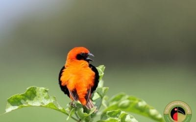 Zanzibar Red Bishop seen on one of our Kenya Bird Photography Tours!