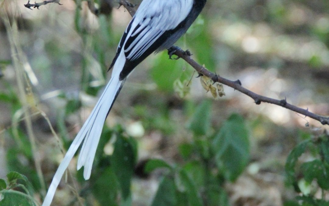 African Paradise Flycatcher found on our incredible Uganda Birding Tours