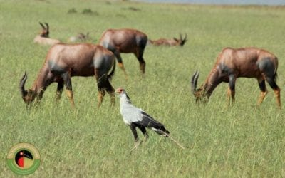 Secretarybird seen on our Uganda Birding Tours!
