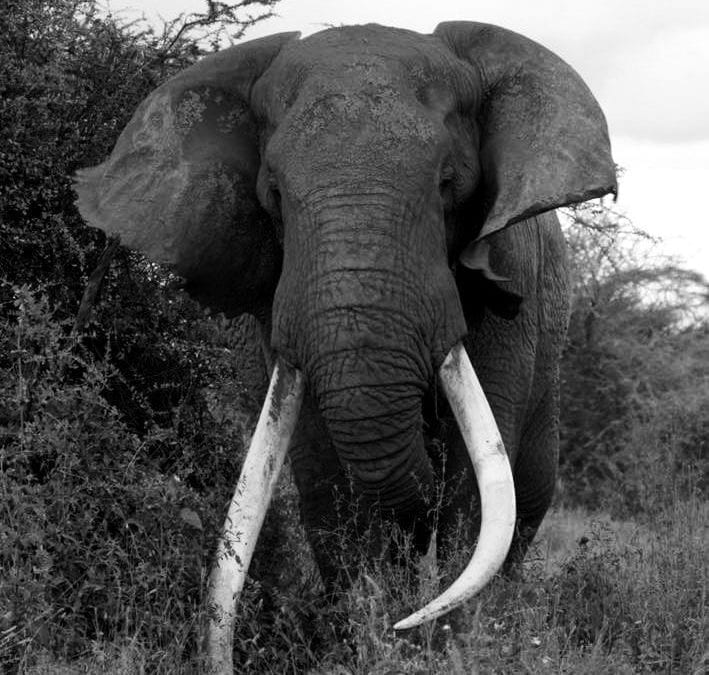 RIP Tim the elephant seen on ourKenya Birding Tours