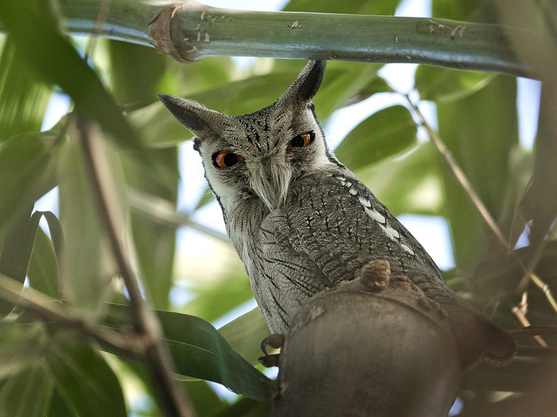 A Jackson's Hornbill seen on our Kenya Bird Photography Tours